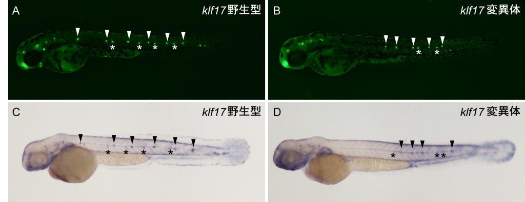 図2 klf17変異体における側線感丘の発生異常(2日胚)