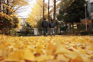 学内のイチョウ並木の写真